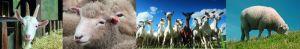 Schafe, Ziegen